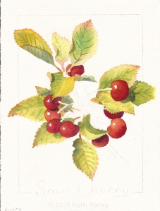 "Cherry #2, stage 2, watercolor, 7"" x 5"""
