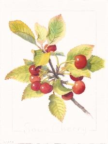 """Sour Cherry Part 3, watercolor, 7"""" x 5"""""""