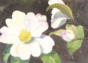 "London Town Camellia, watercolor, 5"" x 7"""