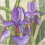 "Irises, watercolor, 4"" x 4"""