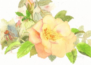 "Peach Rose, watercolor, 5"" x 7"""
