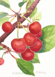 The Cherries Are Ripe!, watercolor, 7