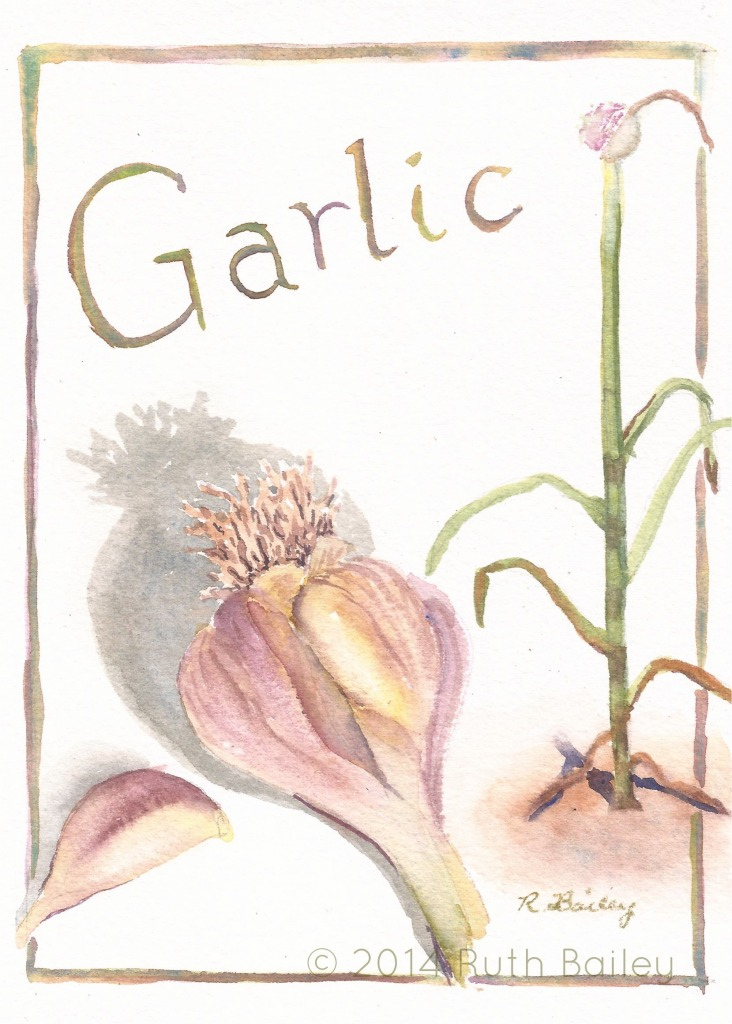 "Garlic, watercolor, 7"" x 5"""