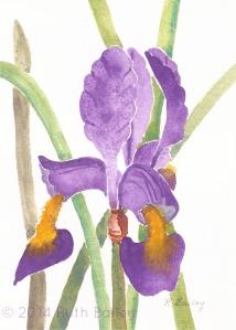 Purple Iris-wm